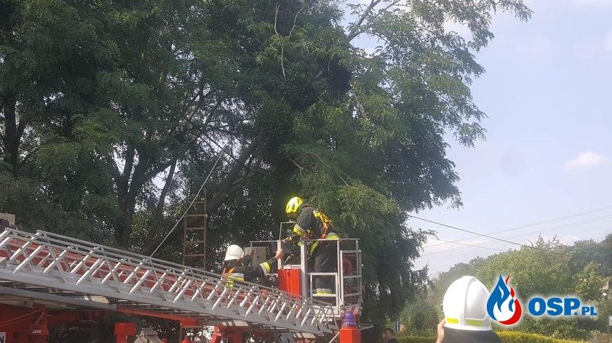 Zwisający konar drzewa nad drogą w Białej OSP Ochotnicza Straż Pożarna