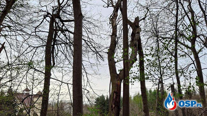 Drzewo oparte o inne drzewo zagrażające budynkowi. OSP Ochotnicza Straż Pożarna