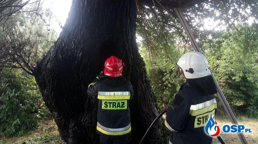 Pożar drzewa. Cerkwica 10.06.2018r. OSP Ochotnicza Straż Pożarna