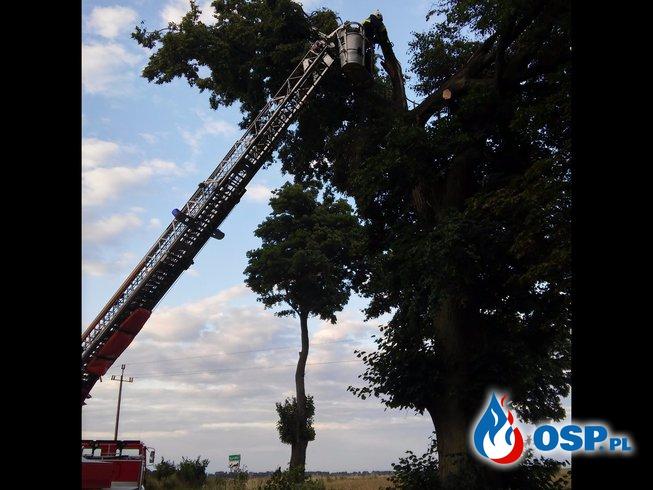 Niebezpiecznie zwisający konar Rynkówka OSP Ochotnicza Straż Pożarna