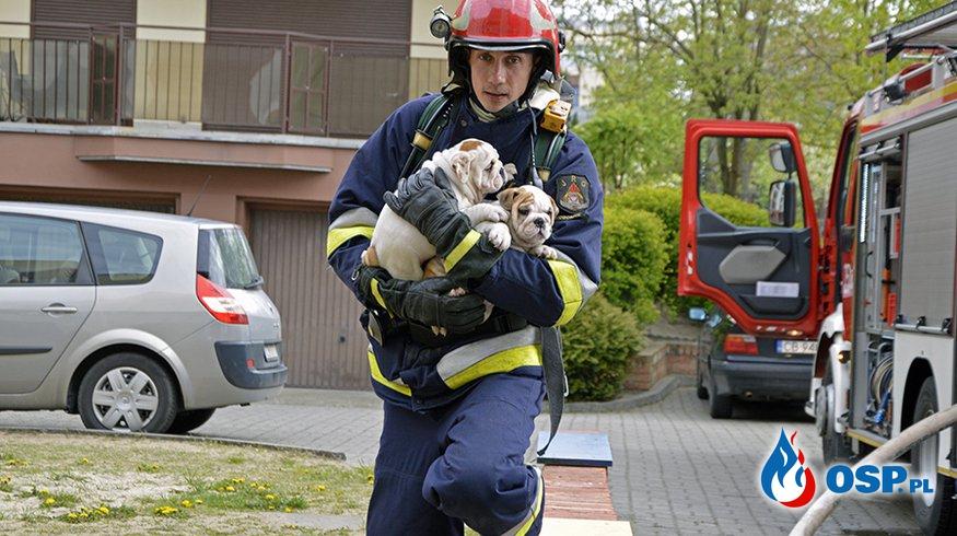 7 psów uratowano z pożaru mieszkania w Bydgoszczy! OSP Ochotnicza Straż Pożarna