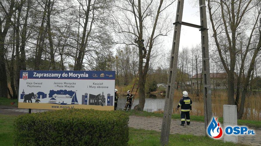 Drzewo pogryzione przez bobry OSP Ochotnicza Straż Pożarna
