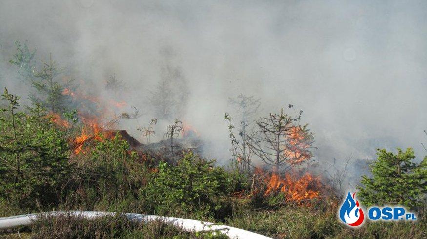 Pożar młodego lasu koło Woźnejwsi OSP Ochotnicza Straż Pożarna