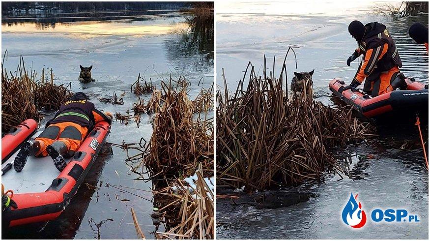Pies utknął na zamarzniętym jeziorze. Strażacy z OSP Czaplinek ruszyli z pomocą. OSP Ochotnicza Straż Pożarna