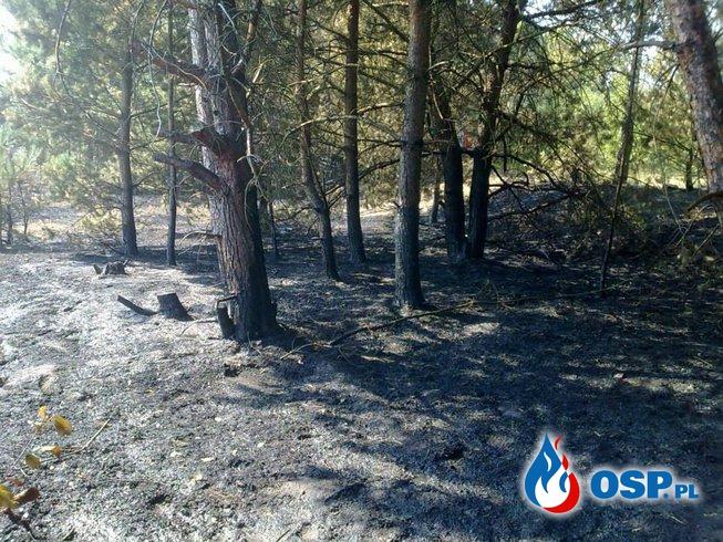 Pożar lasu Piłka OSP Ochotnicza Straż Pożarna