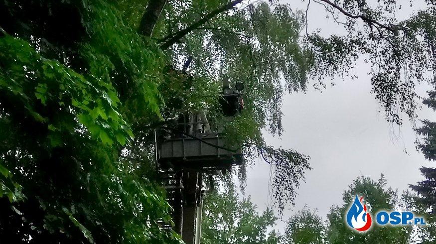 Niebezpiecznie pochylona brzoza!  OSP Ochotnicza Straż Pożarna