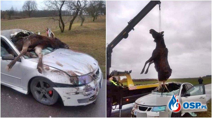 Łoś wpadł przez szybę do samochodu. Zwierzę trzeba było wyciągać dźwigiem. OSP Ochotnicza Straż Pożarna