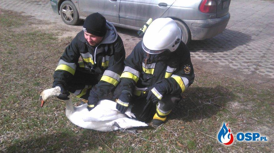 pomoc łabędziowi OSP Ochotnicza Straż Pożarna