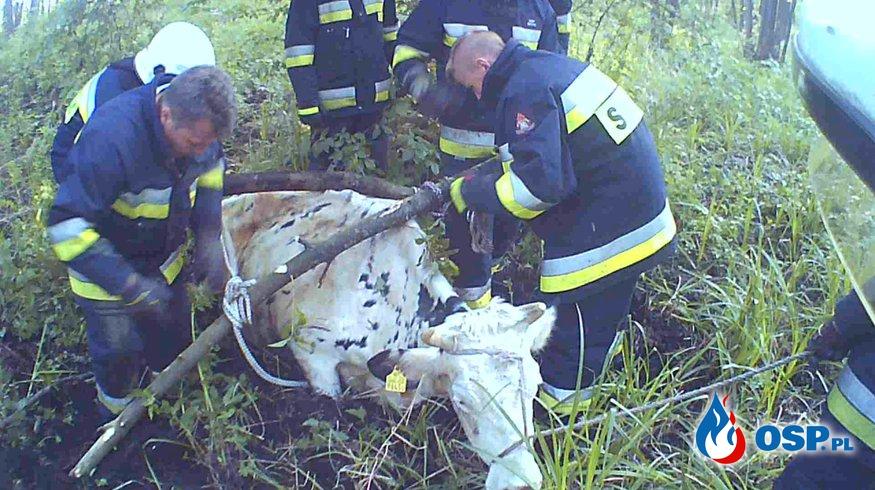 Tonąca krowa w bagnach OSP Ochotnicza Straż Pożarna
