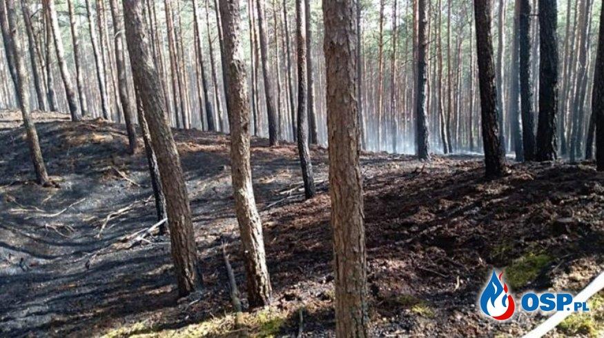 Gogolice – pożar poszycia leśnego OSP Ochotnicza Straż Pożarna