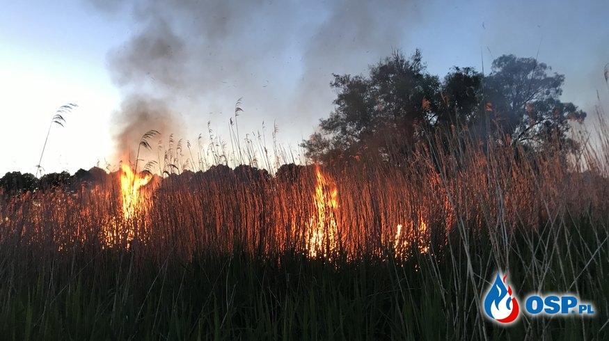 Pożar trzcinowiska w Krzymowie OSP Ochotnicza Straż Pożarna