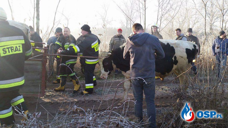 Akcja łapania byków OSP Ochotnicza Straż Pożarna