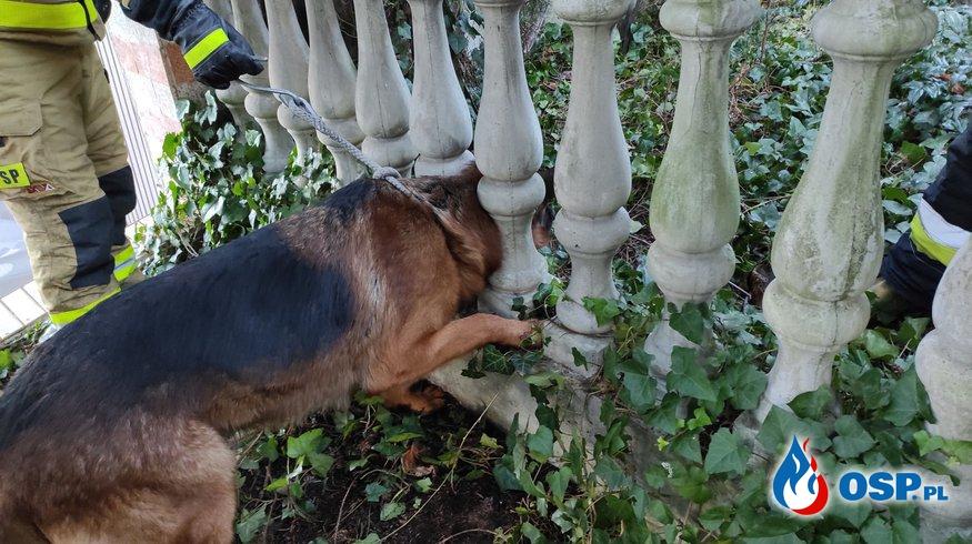 Pies utknął w ogrodzeniu. Nietypowa akcja strażaków z Konina. OSP Ochotnicza Straż Pożarna