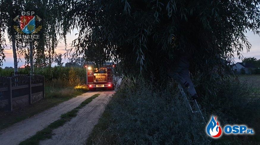 Szerszenie osiedliły się w drzewie OSP Ochotnicza Straż Pożarna
