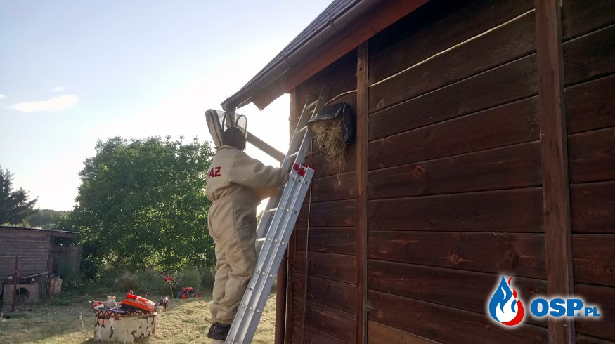 Atak błonkoskrzydłych w Kłodowie. OSP Ochotnicza Straż Pożarna